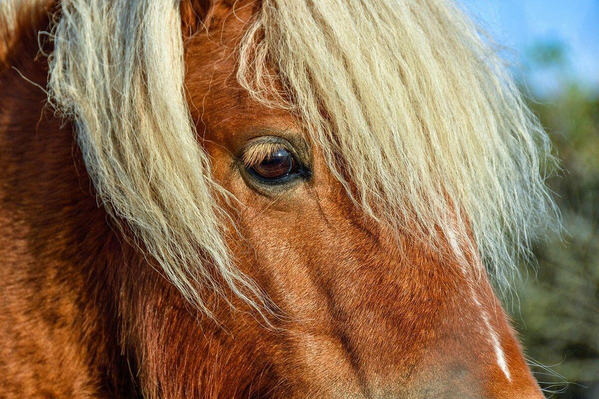 Hevosen